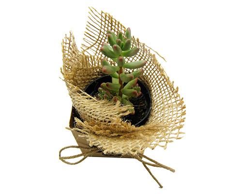 Kit Cultivo - Mini Planta Suculenta ou Cactus
